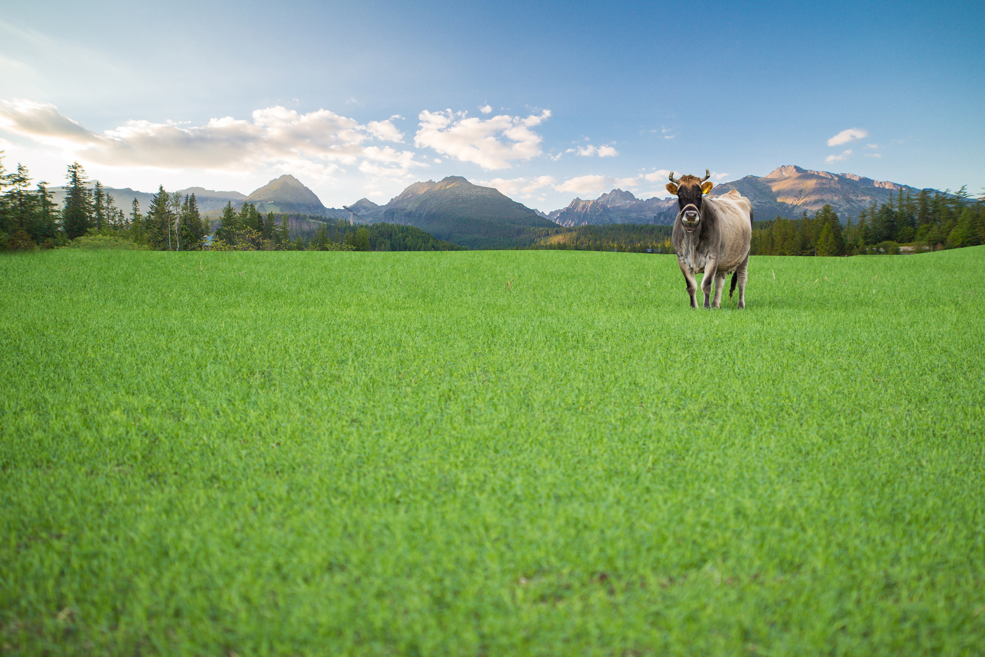 Happy grass fed cow